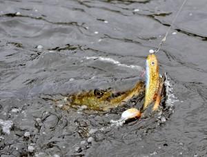 fin fisk