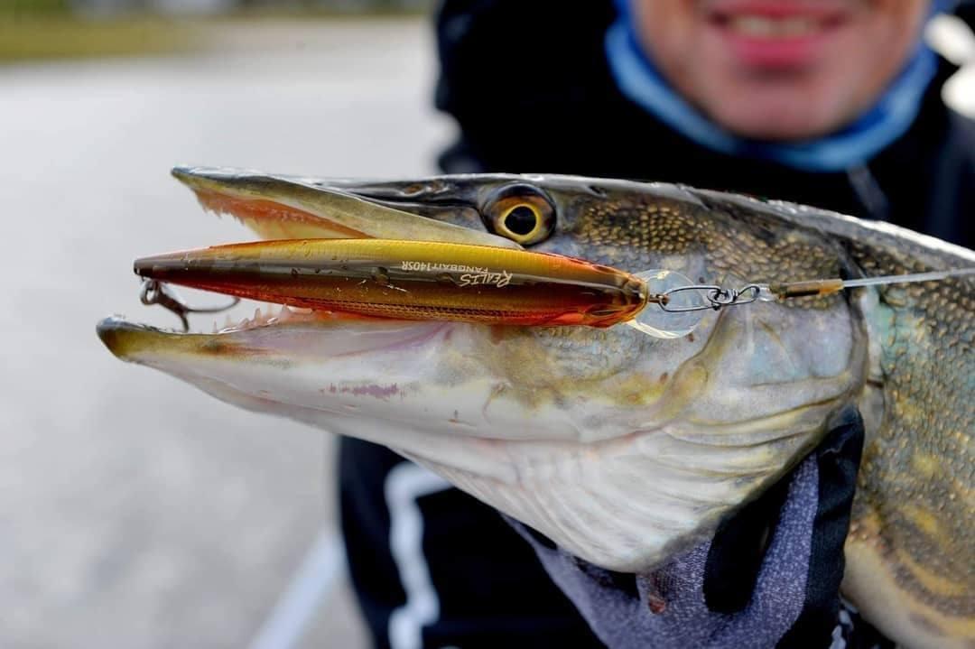 Gjeddefiske på grunt vatten. (video)