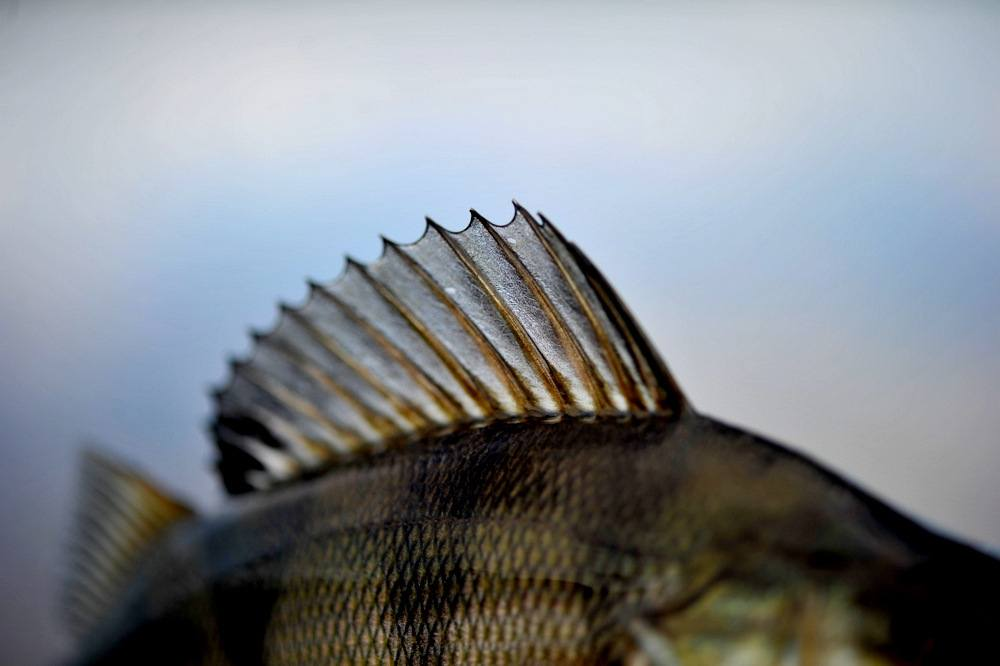 Abborfiske på Mjøsa. Overraskende godt fiske.