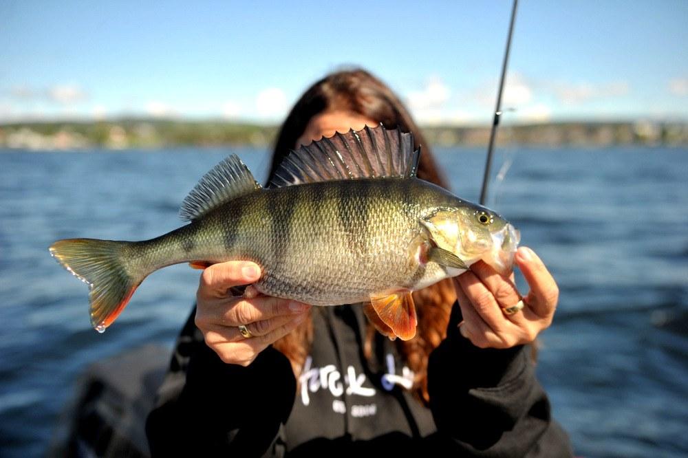 Abborfiske på Mjøsa med unormalt mye bonusfangst.