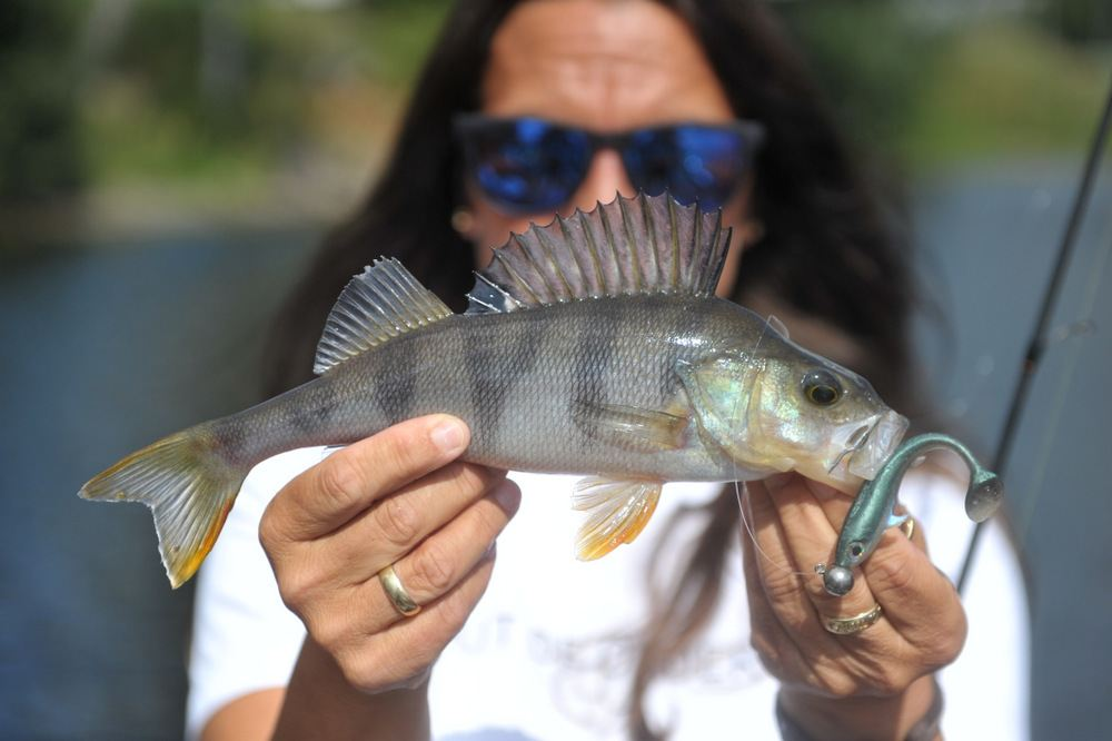 Abborfiske i Glomma. 4 August 2019