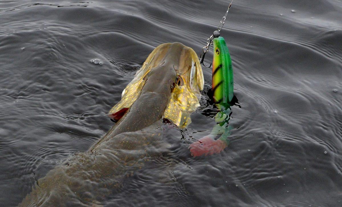 Gjeddefiske i Glomma